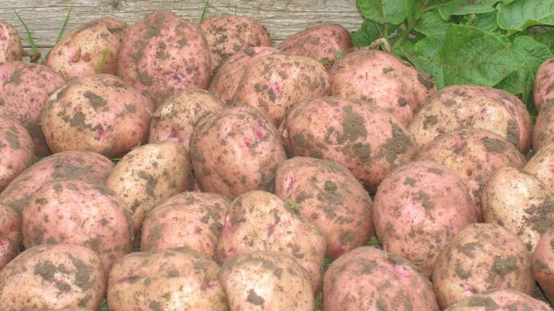 Картофель ильинский: описание сорта, специфика выращивания, отзывы