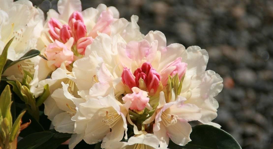 Сорта рододендрона якушиманского: описание, выращивание