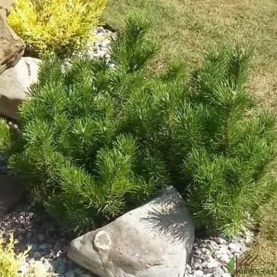 Выращивание горной сосны на дачном участке