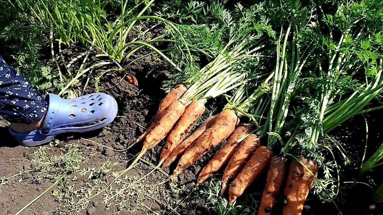 Морковь, сорт дордонь f1.