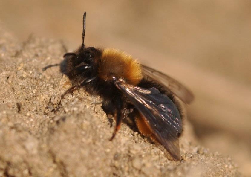 Черная пчела и ее особенности