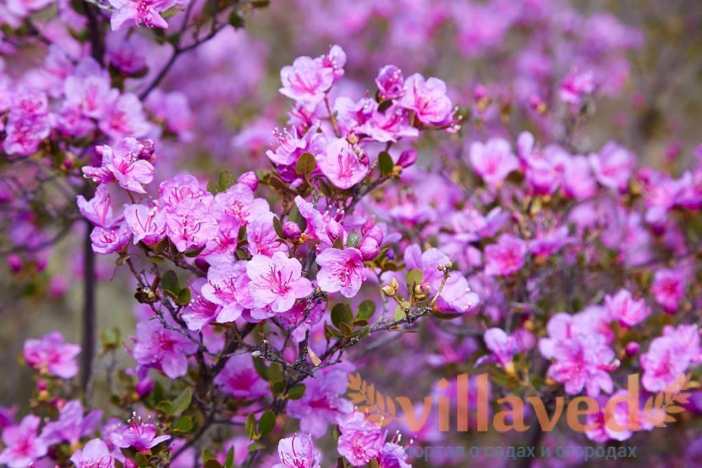 Рододендрон (63 фото): что это такое? посадка «розового дерева», уход за цветком в открытом грунте. описание садового рододендрона и других видов