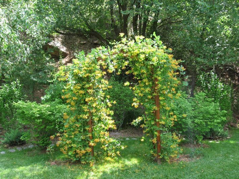 Жимолость каприфоль: обильно цветущая лиана на приусадебном участке