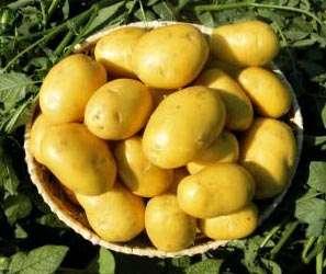 Картофель импала: 8 особенностей и 11 советов по выращиванию и хранению