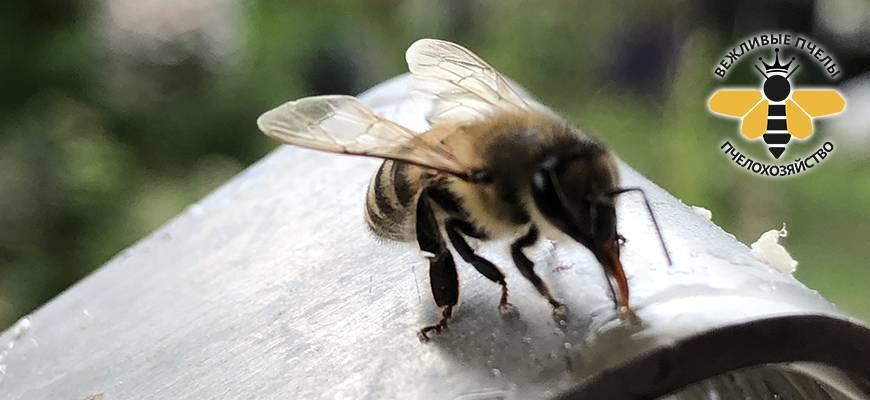 Какие лекарства полезны для пчел