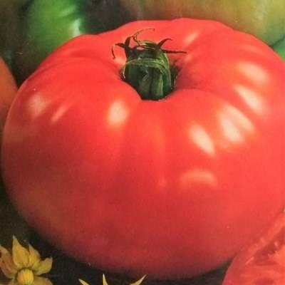 Сорт помидоров толстый джек – ранний, неприхотливый, вкусный