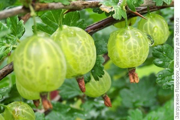 Крыжовник конфетный: характеристика, особенности выращивания и размножения