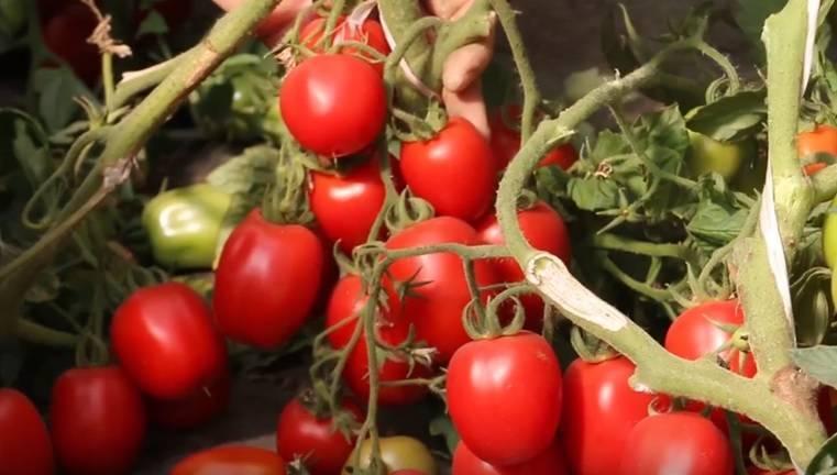 Сорт томата гаспачо
