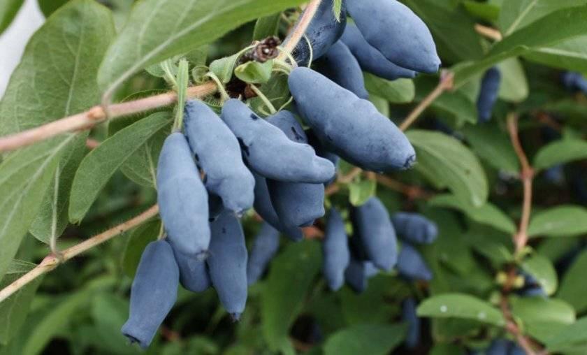 Выращивание жимолости в Подмосковье: посадка и уход, сбор урожая