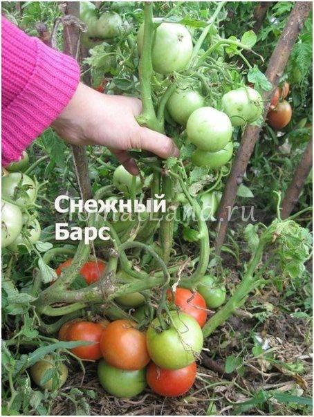 """Томат """"снежный барс"""" : описание сорта помидор и их фото, преимущества и недостатки, а также особенности выращивания"""