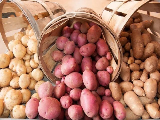 Картофель родриго: описание сорта, фото, характеристика