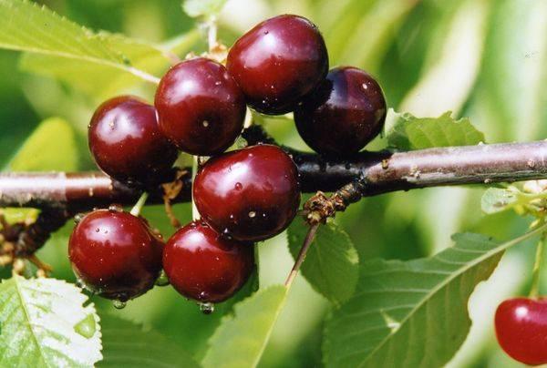 Вишня с «сердечными» плодами — сорт лебедянская