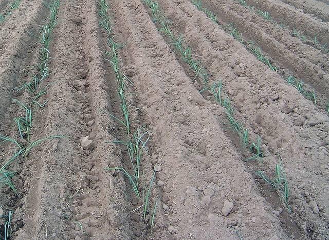 Лук порей карантанский выращивание из семян