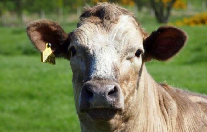 Желудок коровы - отделы, строение, устранение завала 2020