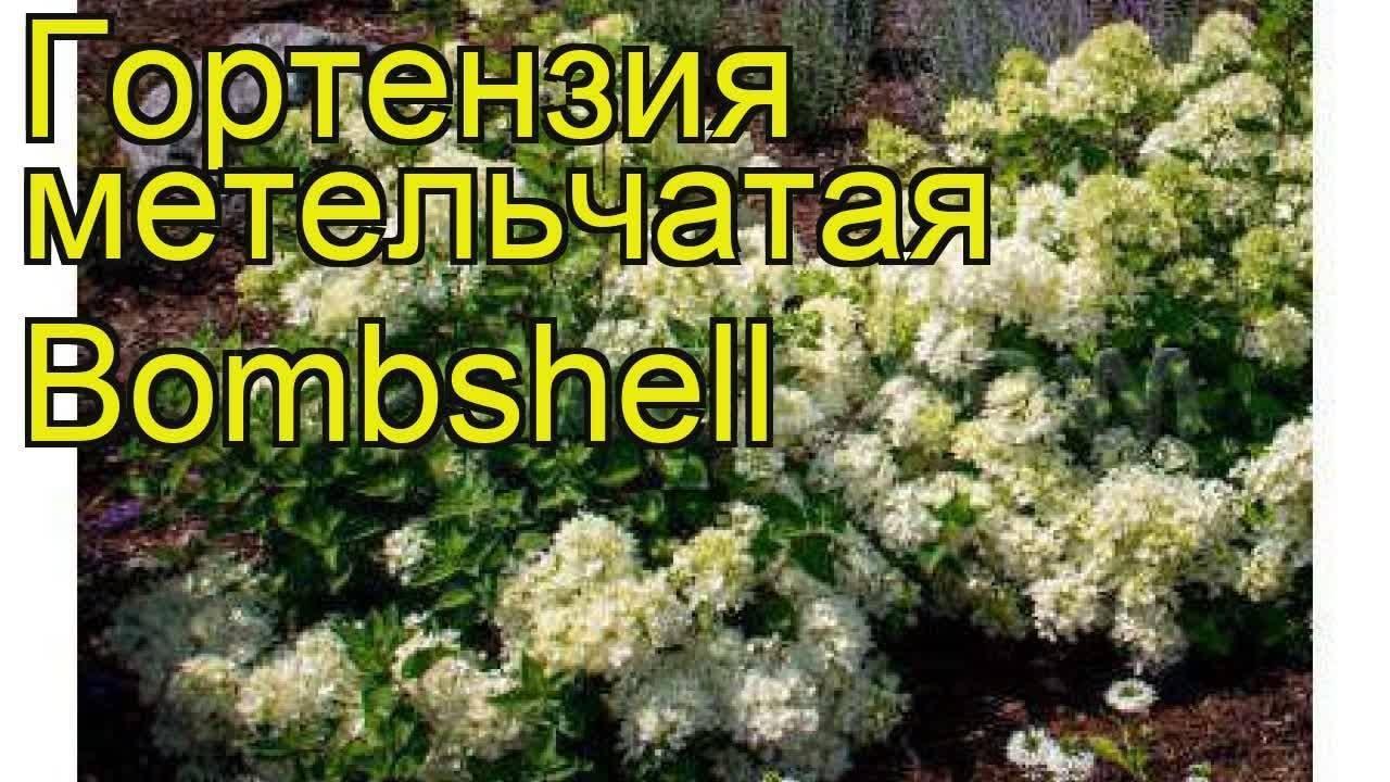 Гортензия «бобо» (29 фото): описание, посадка и уход в открытом грунте, зимостойкость сорта гортензии метельчатой bobo, отзывы