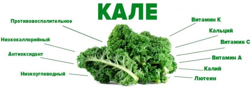 Капуста кале – польза и вред - свойстава и калорийность, польза и вред на your-diet.ru | здоровое питание, снижение веса, эффективные диеты