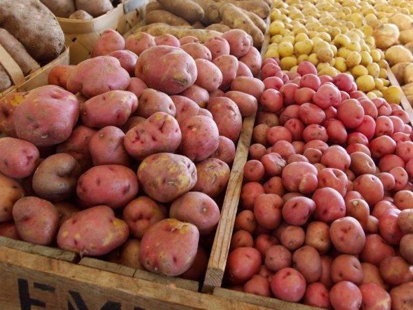 Перспективная новинка от агрофирмы «седек» — картофель аусония: описание сорта и отзывы