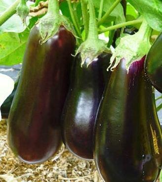 Баклажаны бегемот f1 — описание сорта, отзывы, урожайность и характеристика