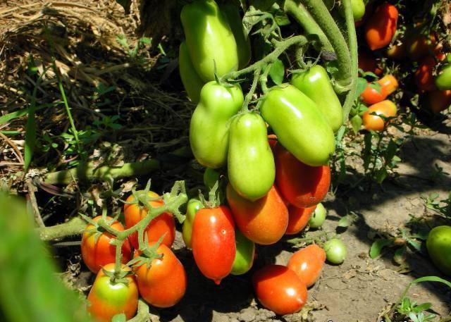 Сорт томата «ракета»: описание, характеристика, посев на рассаду, подкормка, урожайность, фото, видео и самые распространенные болезни томатов