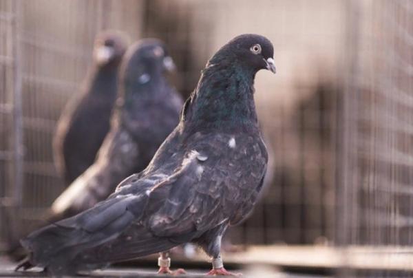 Торцовые голуби: уход и содержание голубятни