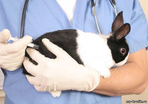 Кокцидиоз у кроликов: симптомы, лечение и профилактика, можно ли есть мясо больного кролика?