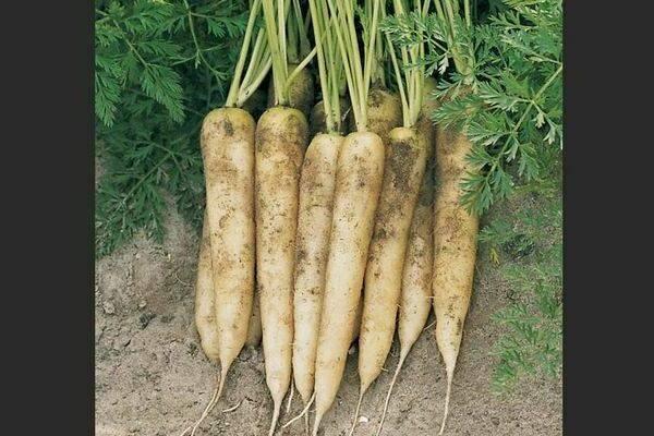 Фиолетовая, белая и желтая морковка, а также самые лучшие сорта моркови