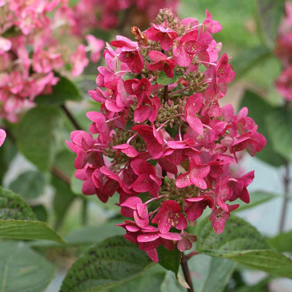 Гортензия киушу метельчатая — описание, посадка и уход