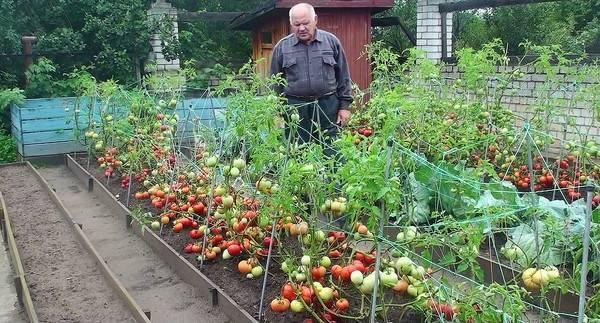 Розовые помидоры для открытого грунта низкорослые