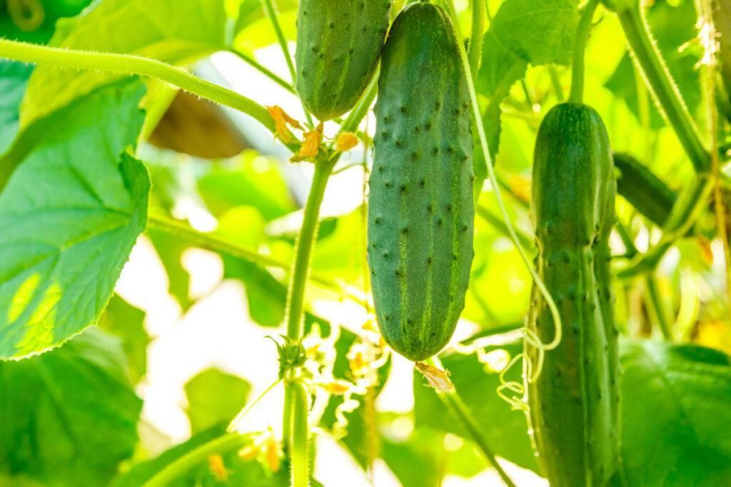 Сорта огурцов для подмосковья – семена для открытого грунта, теплиц