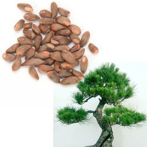 Размножение и выращивание туи из семян