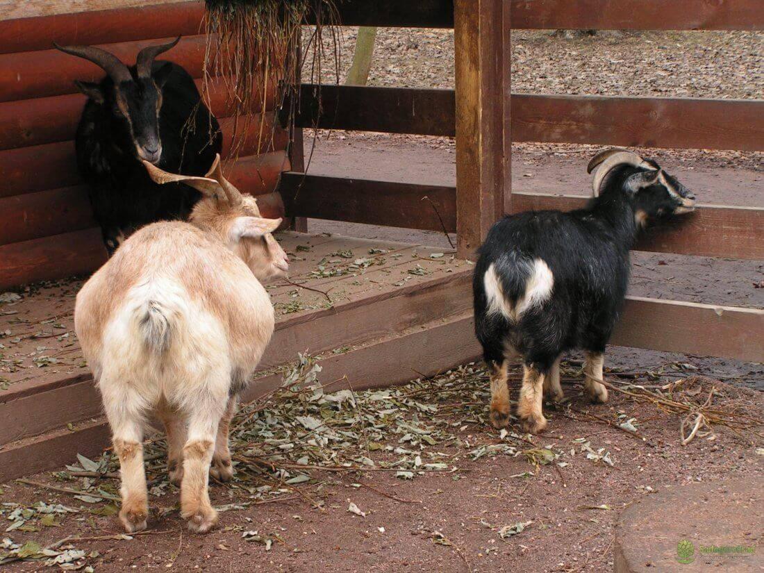 Камерунские козы (33 фото): описание породы карликовых коз. сколько молока в день они дают? тонкости содержания маленьких козлят, отзывы владельцев
