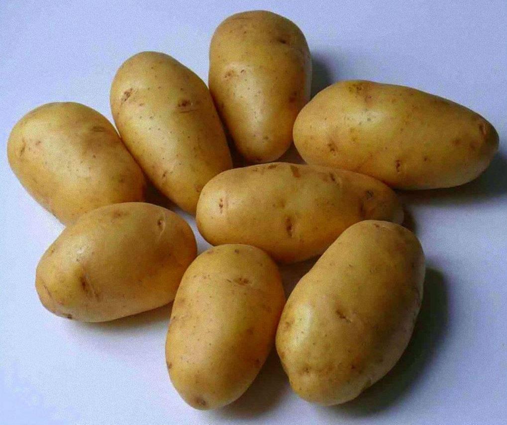 Картофель лорх: описание сорта, фото, отзывы, посадка и уход