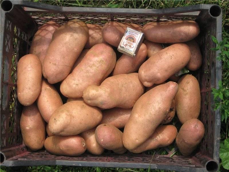 Смешное название, отличный результат — картофель лапоть: описание сорта и фото