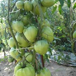 Сладкий гигант — томат «розовый мед»: описание сорта и его характеристики, фото и особенности выращивания