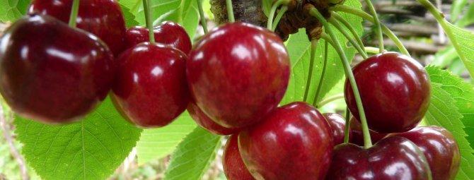 Вишня «волочаевка»: особенности выращивания и уход