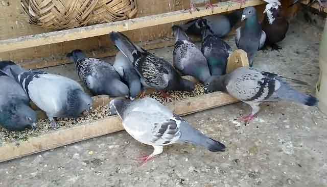 Как содержать и чем кормить голубей в зимний сезон?