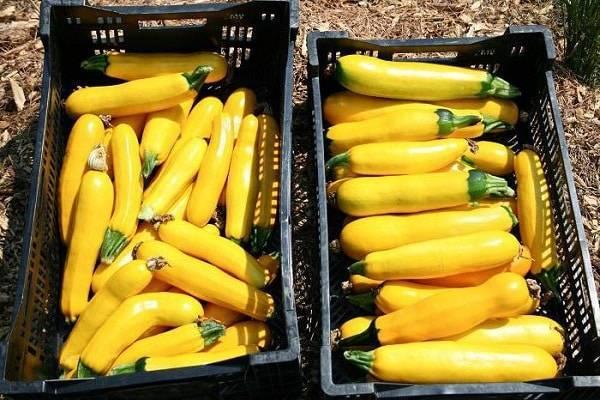 Кабачок желтый банан f1 - фото урожая, цены, отзывы и особенности выращивания