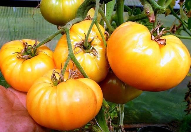 Удивительный на вид томат «инжир розовый» со сладким фруктовым вкусом – сорт для настоящих гурманов