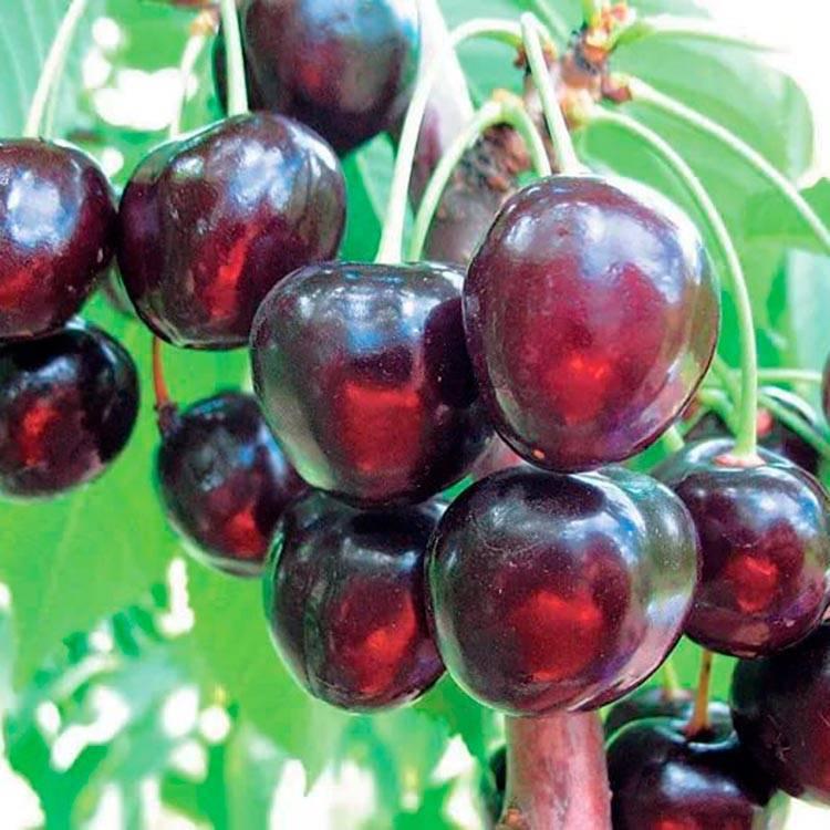 Особенности выращивания и ухода за вишней сорта подбельская