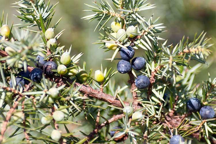 Ягоды можжевельника: лечебные свойства и противопоказания, применение
