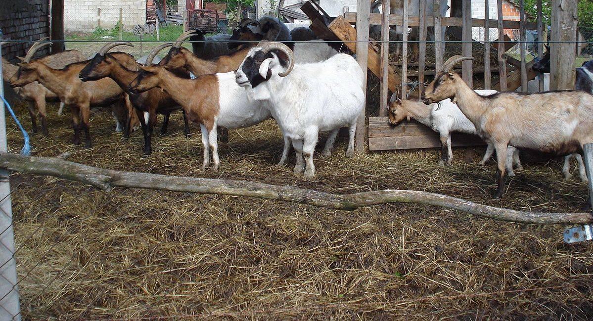 Камори – описание пакистанской породы коз