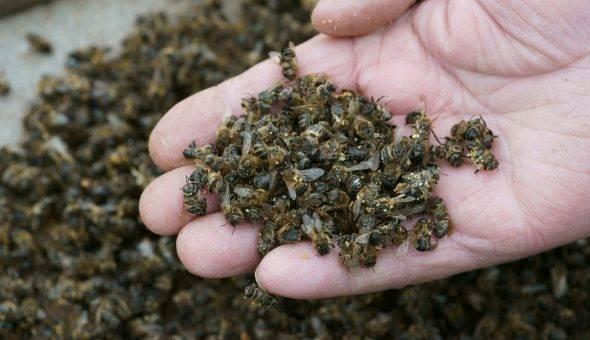 Чем полезен пчелиный подмор для мужчин