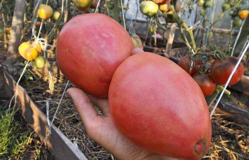 Вкусный томат орлиный клюв: отзывы, фото и 3 причины выращивания