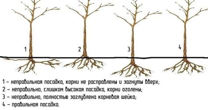 Как правильно посадить саженцы груши осенью