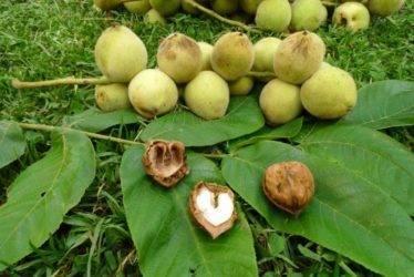 Особенности выращивания и посадки маньчжурского ореха