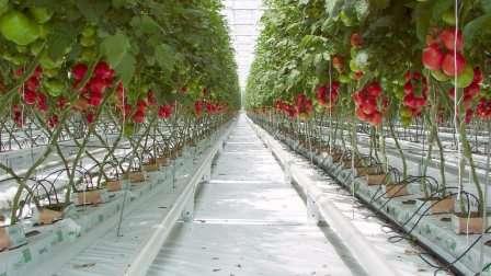 Низкорослые сорта томатов для теплицы, устойчивые к фитофторе