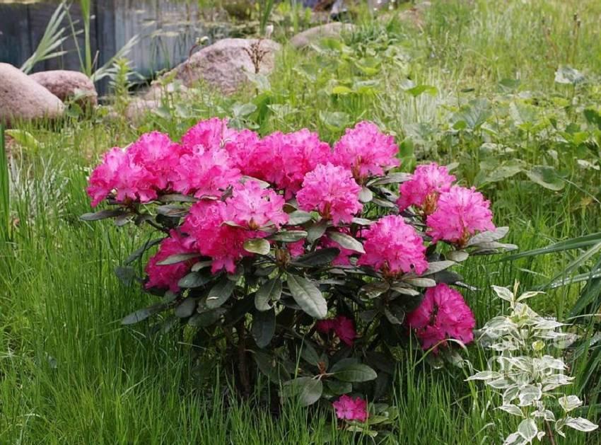 Как посадить рододендроны в открытый грунт весной и осенью: правила выращивания и ухода