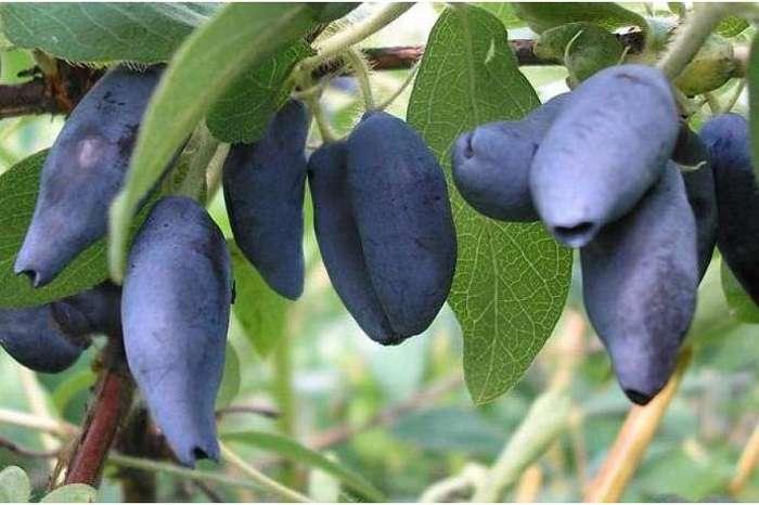 Жимолость съедобная бореалис: характеристики сорта и особенности выращивания