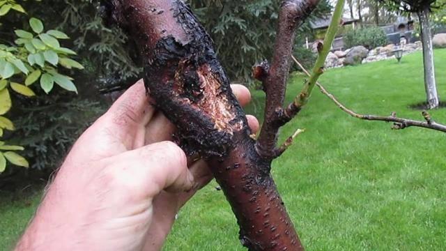 Болезни персика: фото и чем лечить?