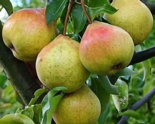 Груша памяти яковлева: описание сорта и фото плодов, характеристики и особенности выращивания